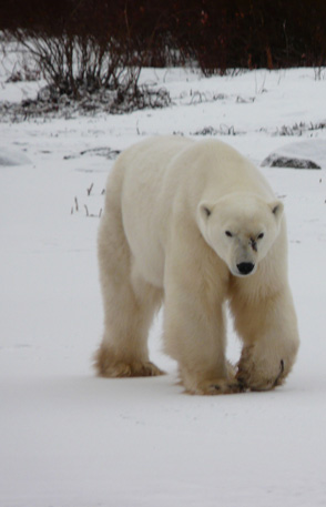 Women's Travel Club Polar Bear & Beluga Whale Tour